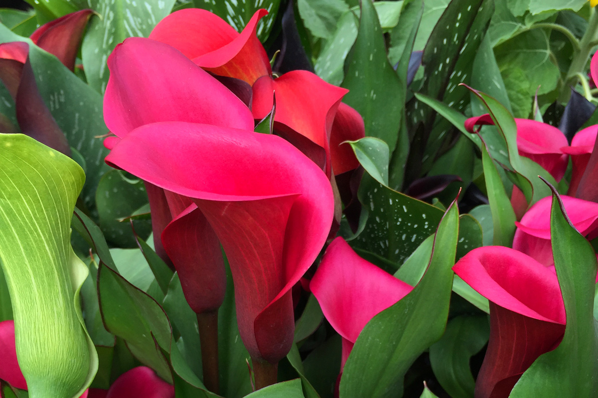 calla lilly rs