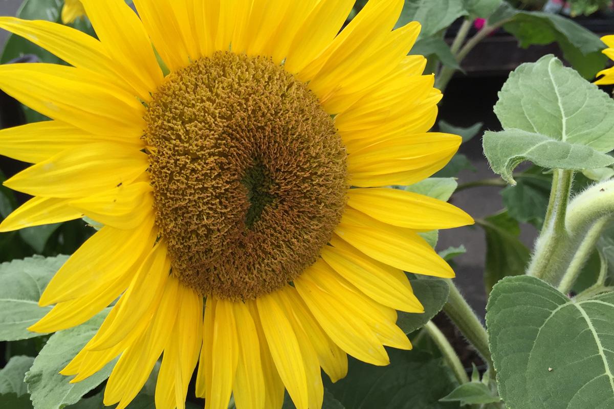 sunflower rs