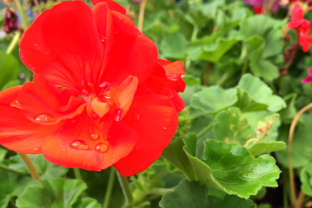 geranium rs