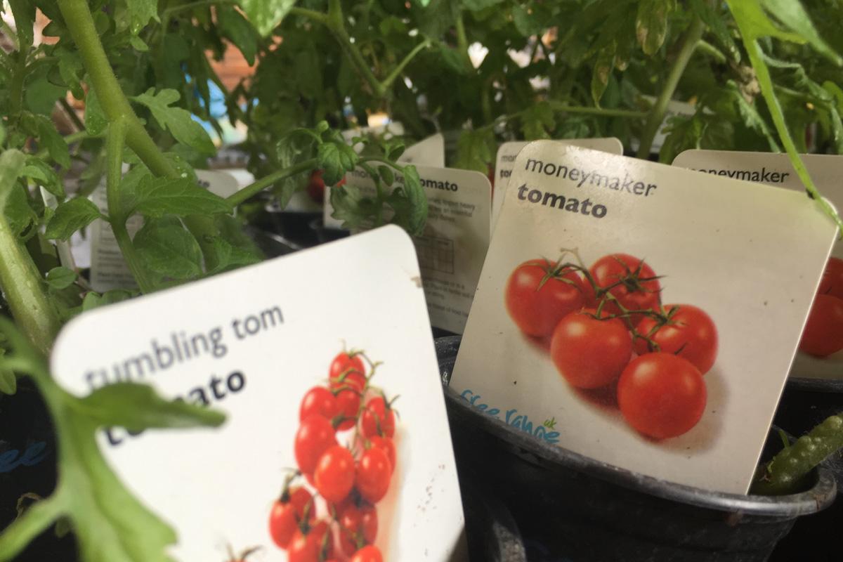 tomato rs